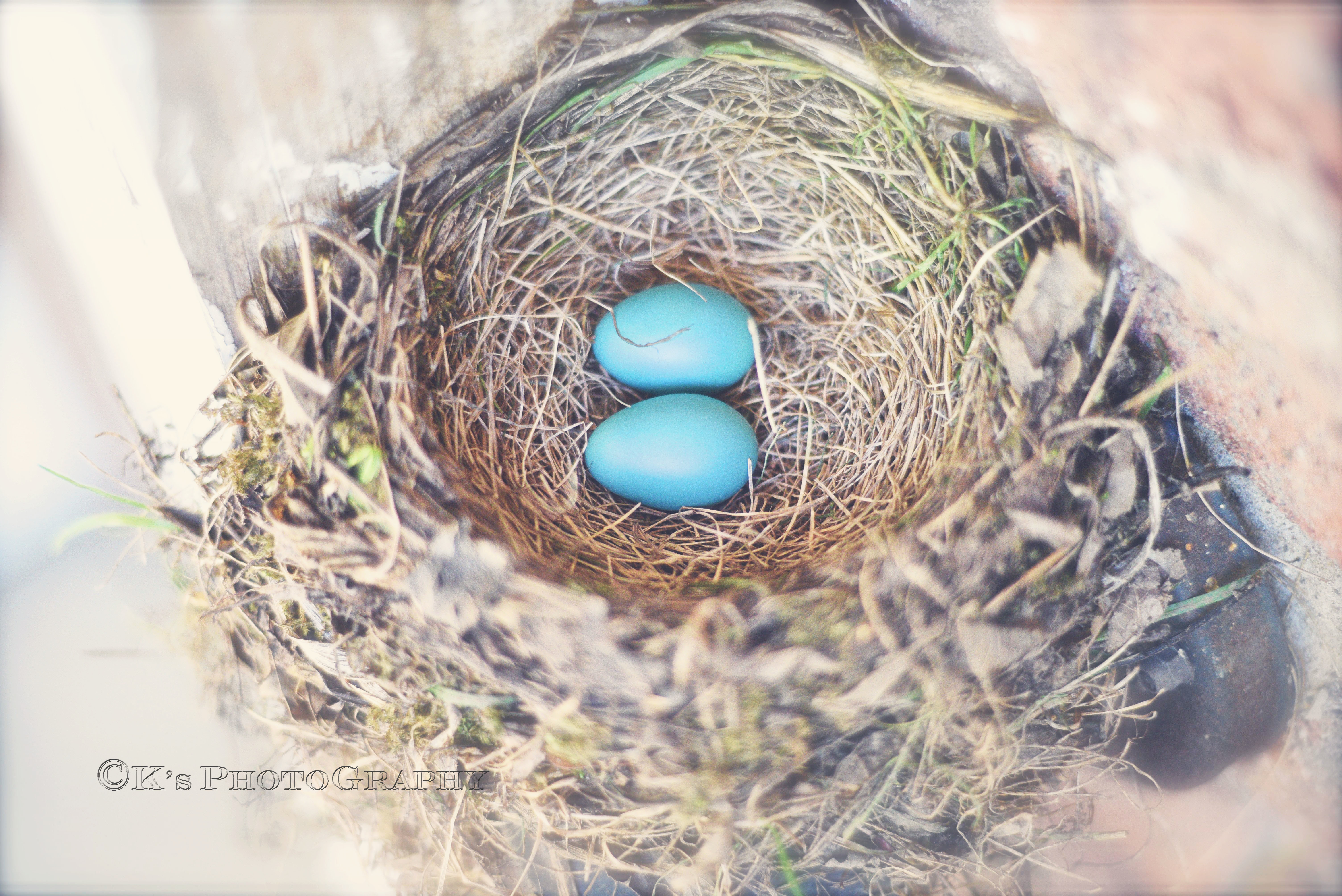I so love the grace of God found in these little, baby blues. How delightful to see His awesome creation