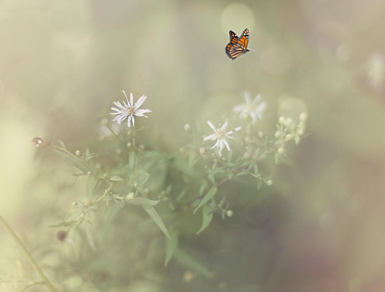 DSC_2653 amber graceful bokeh butterfly